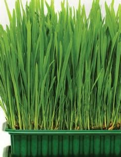 Catgrass - Herbs and Veges - Shop Online