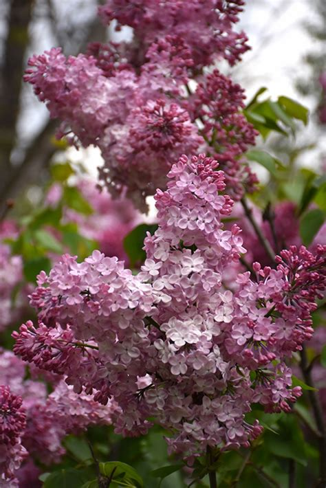 Esther Staley Lilac (Syringa vulgaris 'Esther Staley') in