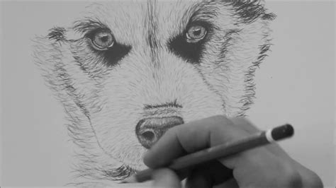 How To Draw A Husky Step by Step For Beginners - YouTube