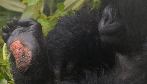 VIDEO: Rare mountain gorilla gets a lesson in mating