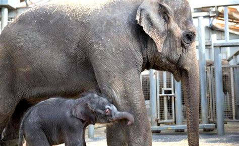 Asian Elephant Calf Takes His First Steps at Melbourne Zoo