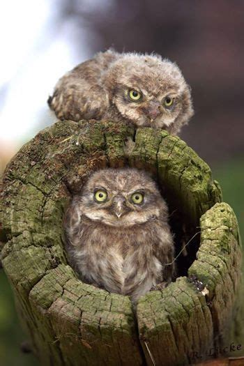 """Two Owlets: """"Looking Forward to Mom's Return"""