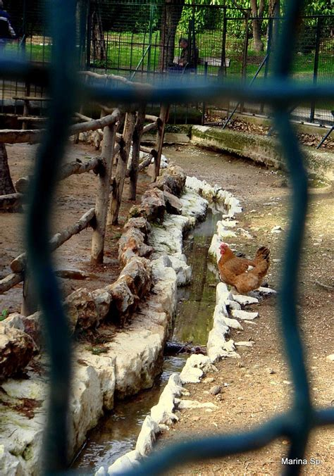 A chicken at the National Gardens Zoo - Athens, Greece