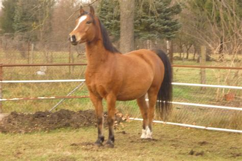 Haflinger Araber Mix zu verkaufen Dringend in Bindow