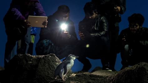 The Changing Clock of Australia's Little Penguins - The